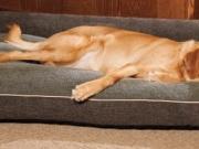Šuns guolis 069